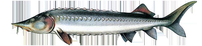 BELUGA Sturgeon (Acipenser huso huso) caviar name: Beluga