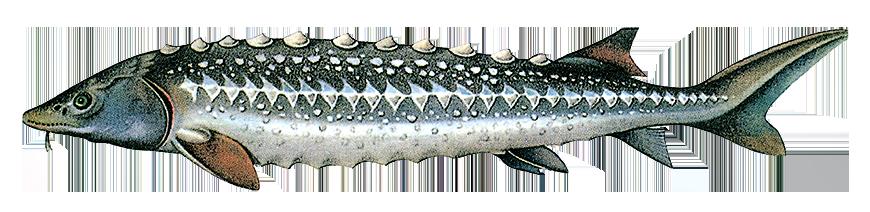 RUSSIAN Sturgeon (Acipenser gueldenstaedtii) caviar name: Osetra
