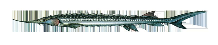 STARRY Sturgeon (Acipenser stellatus) caviar name: Sevruga